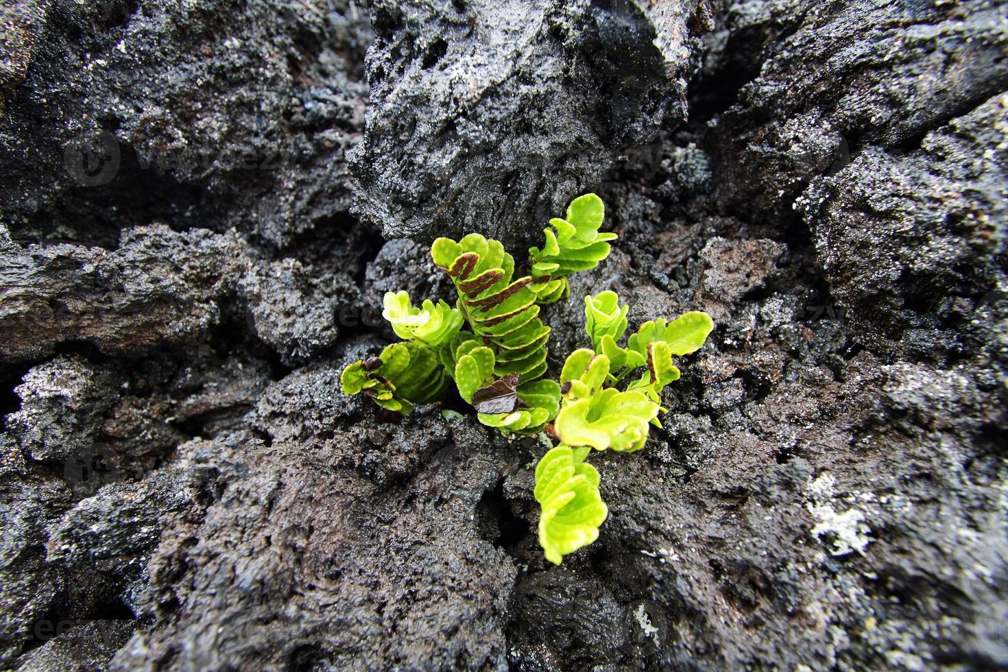 plant groeit in de lava foto