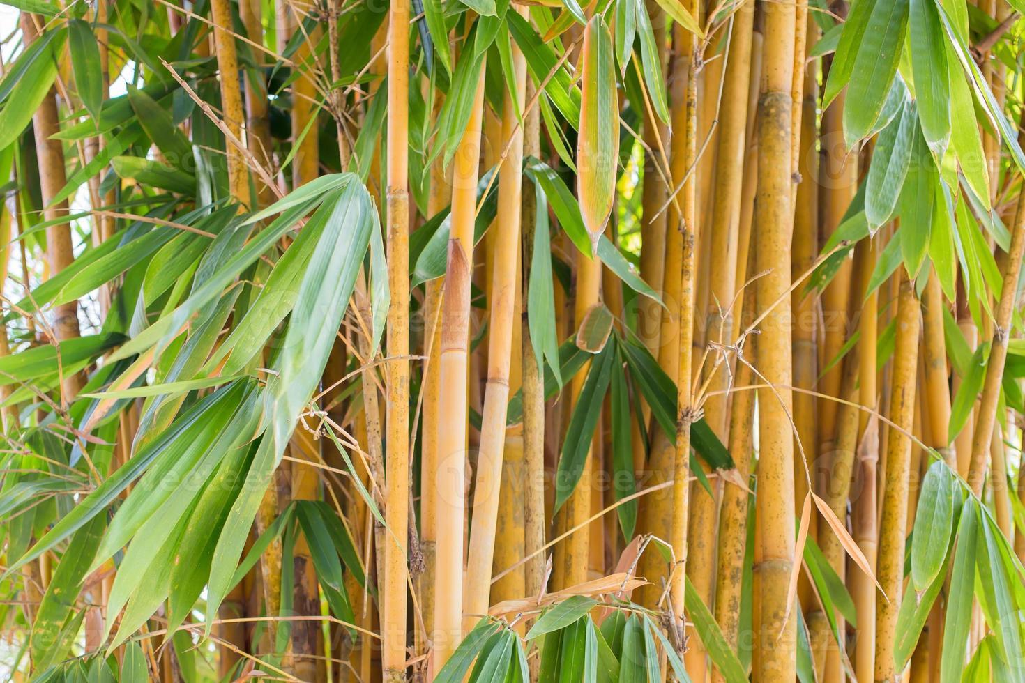 Aziatische bamboe foto