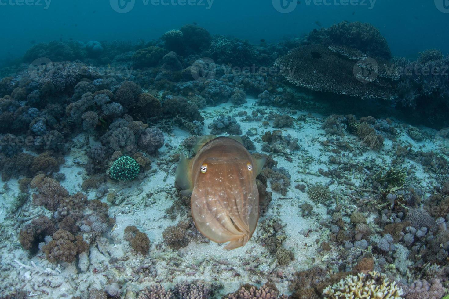 inktvis op koraalrif foto