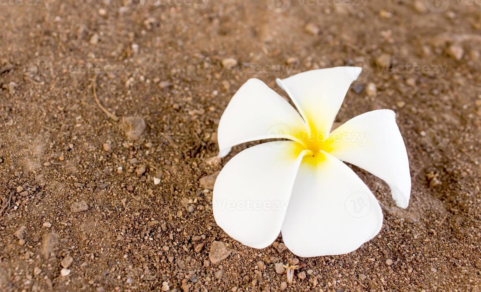 tropische bloemen frangipani foto