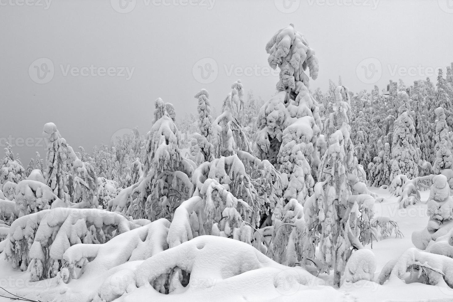 besneeuwde boom in lapland foto