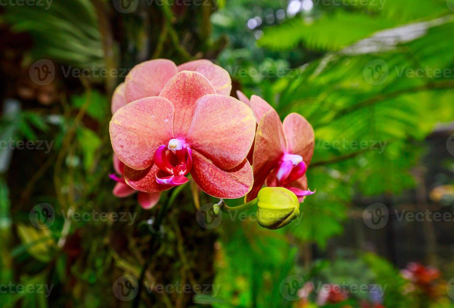 geurende orchidee in volle bloei foto