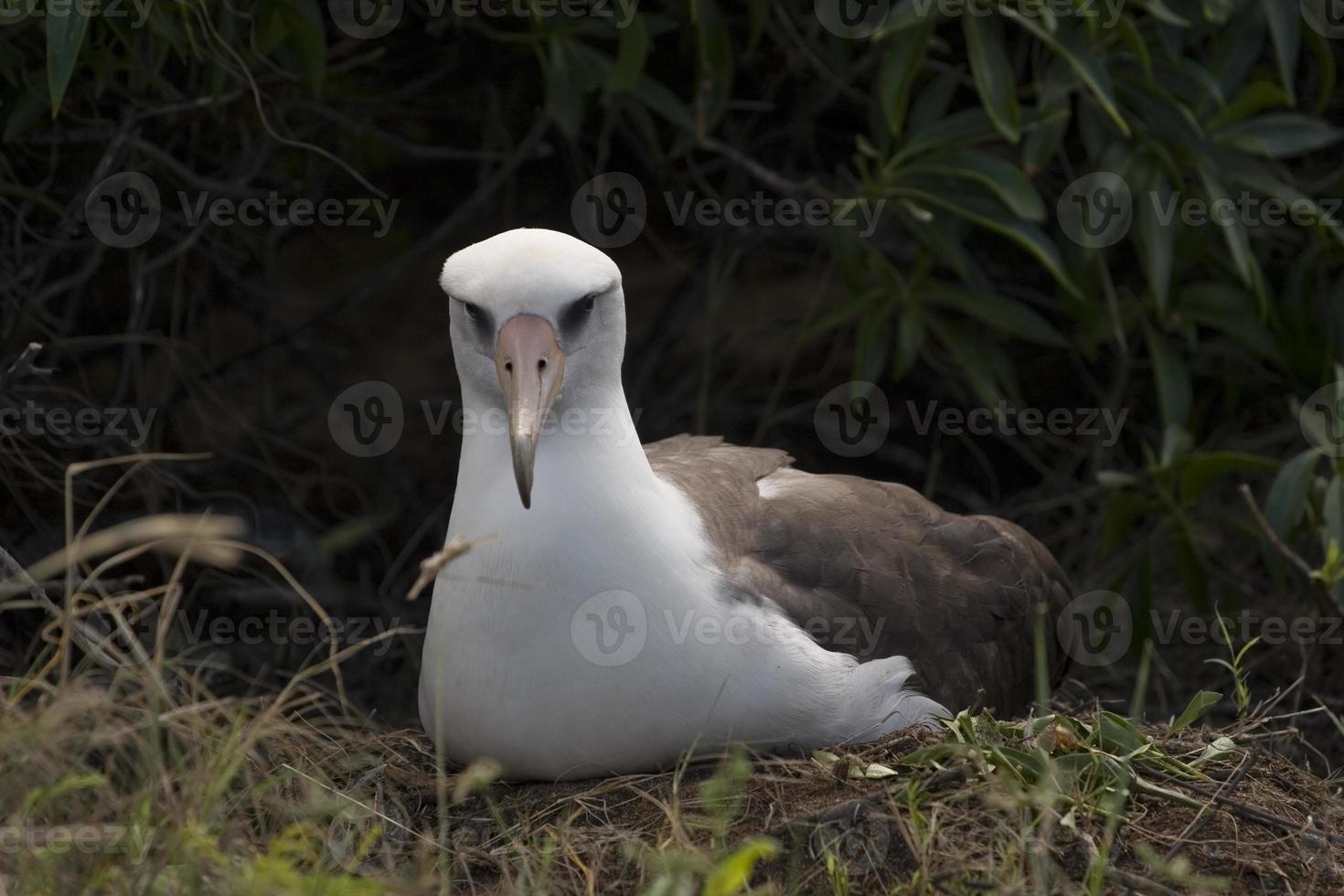 albatross nestelen foto