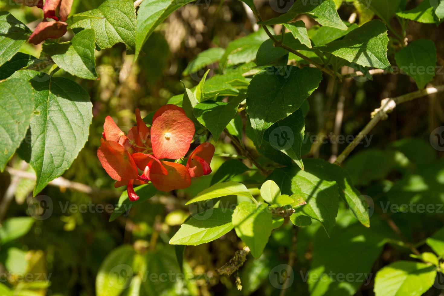 rode Hawaiiaanse bloem foto