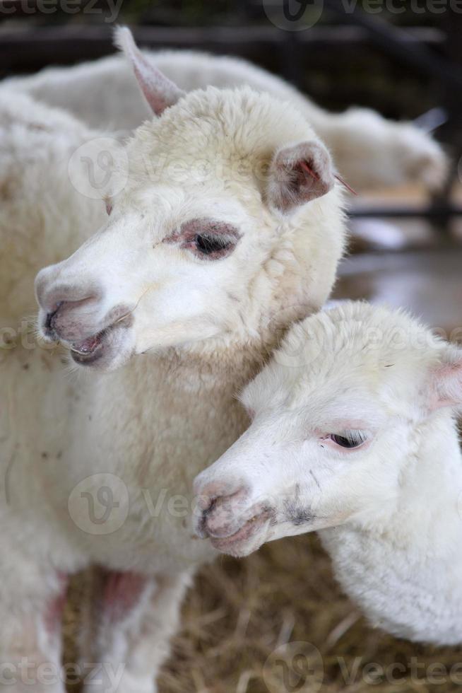alpaca familie foto