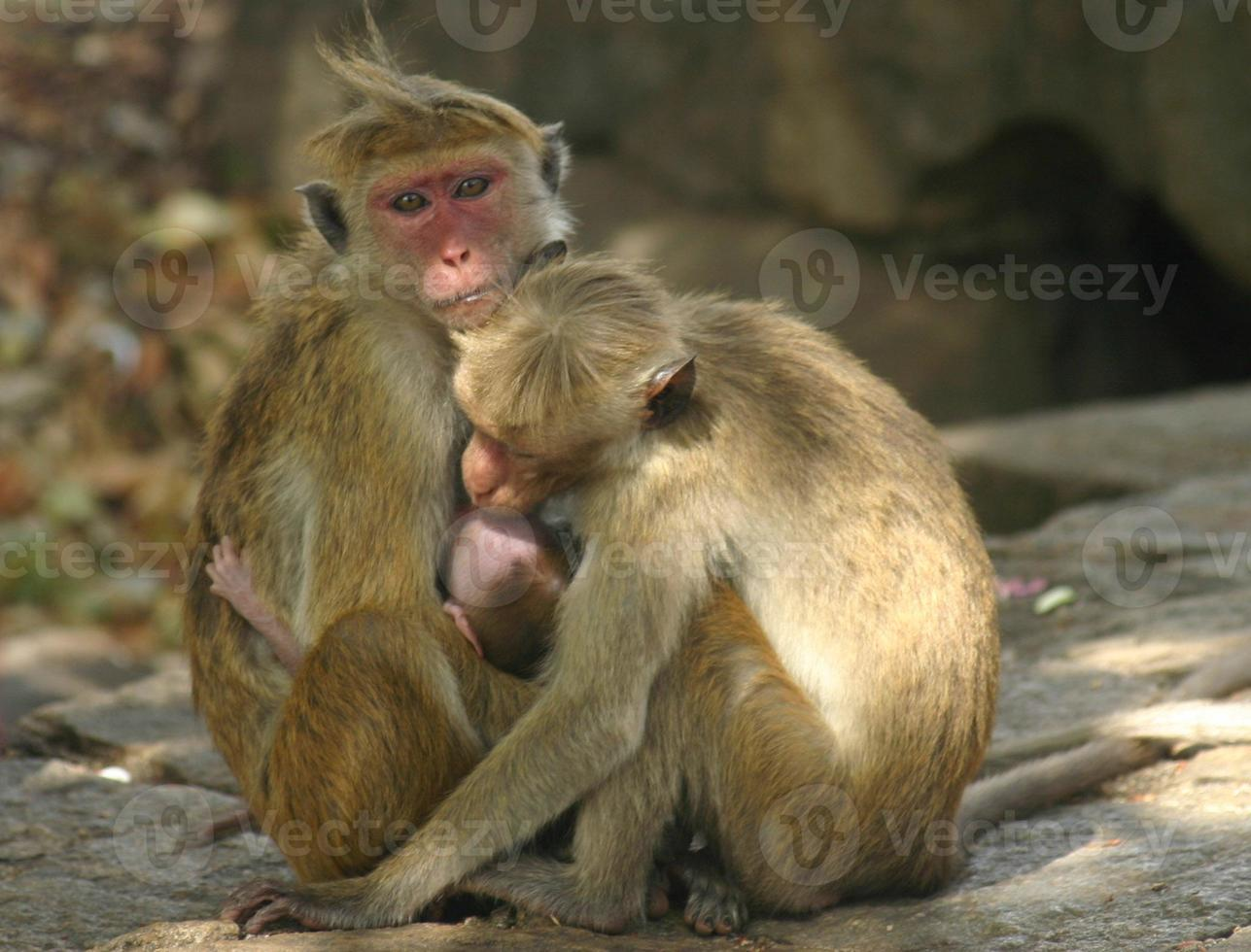 Apenfamilie, Sri Lanka foto