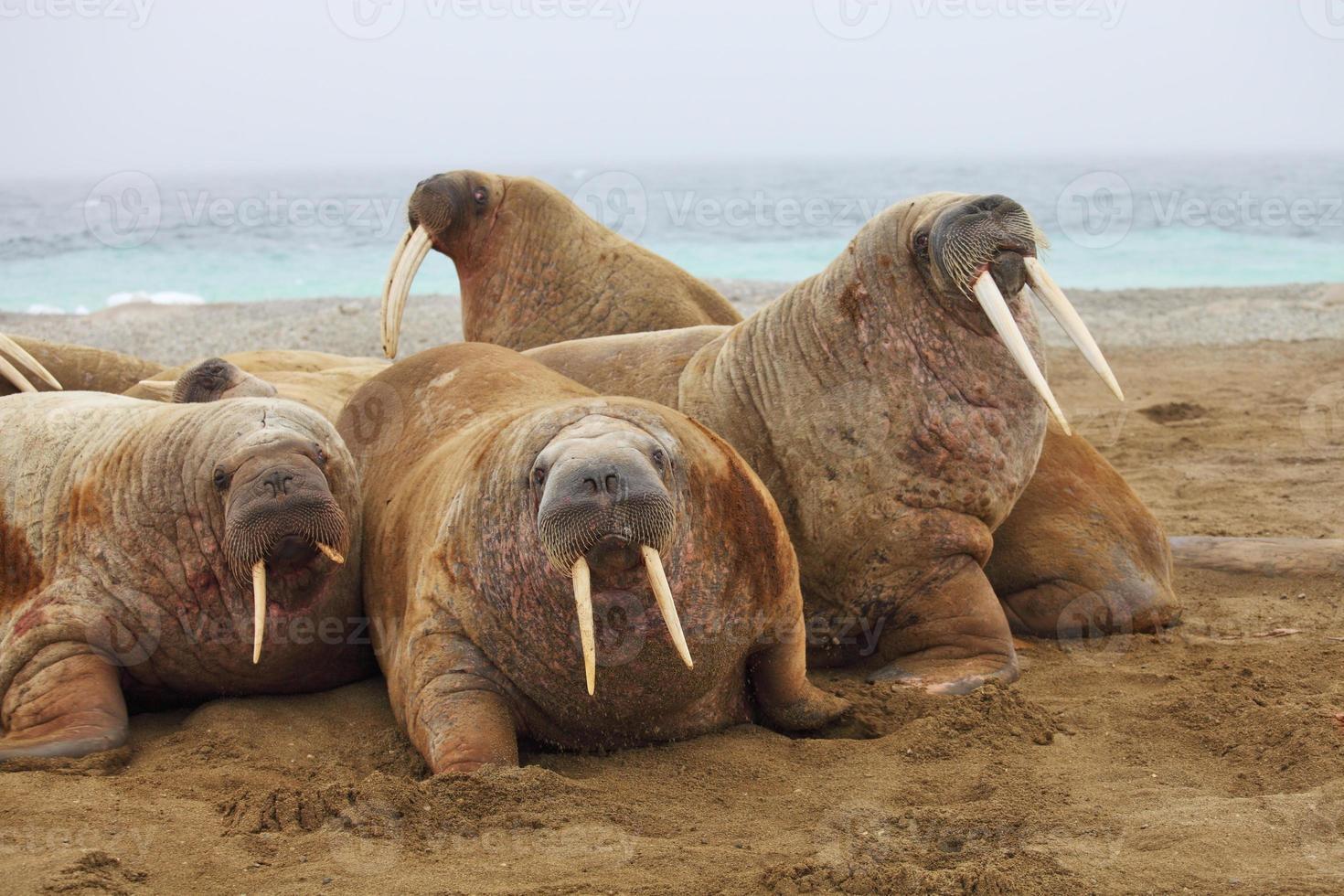 walrus familie foto
