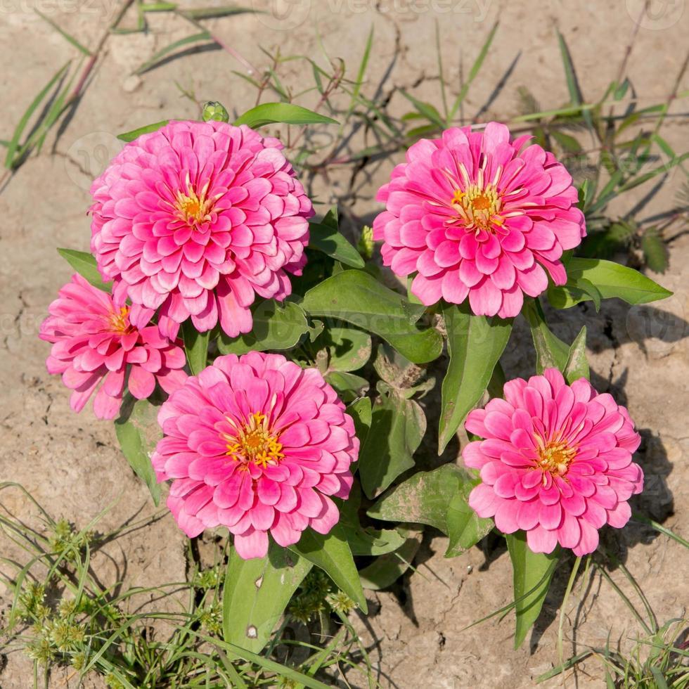 roze zinnia bloemen. (familie compositae) foto