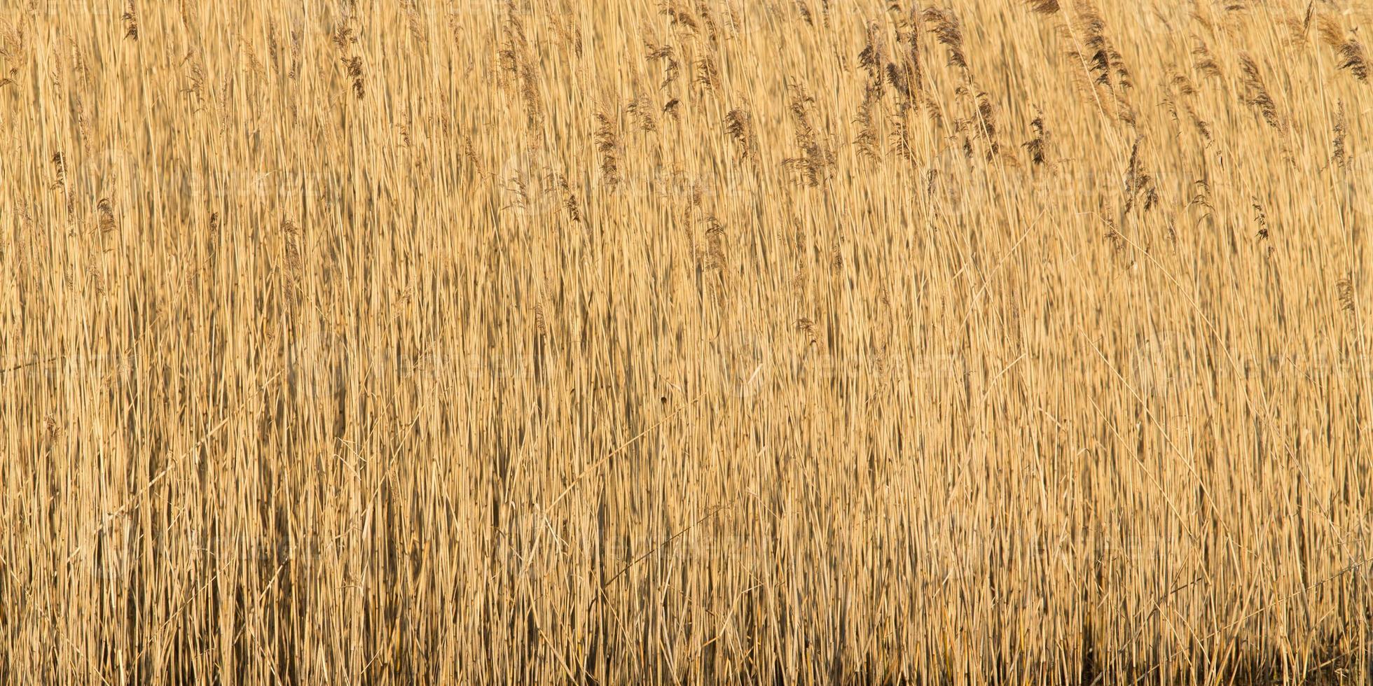 gewoon riet in een moerasgebied van Newport, Wales. foto