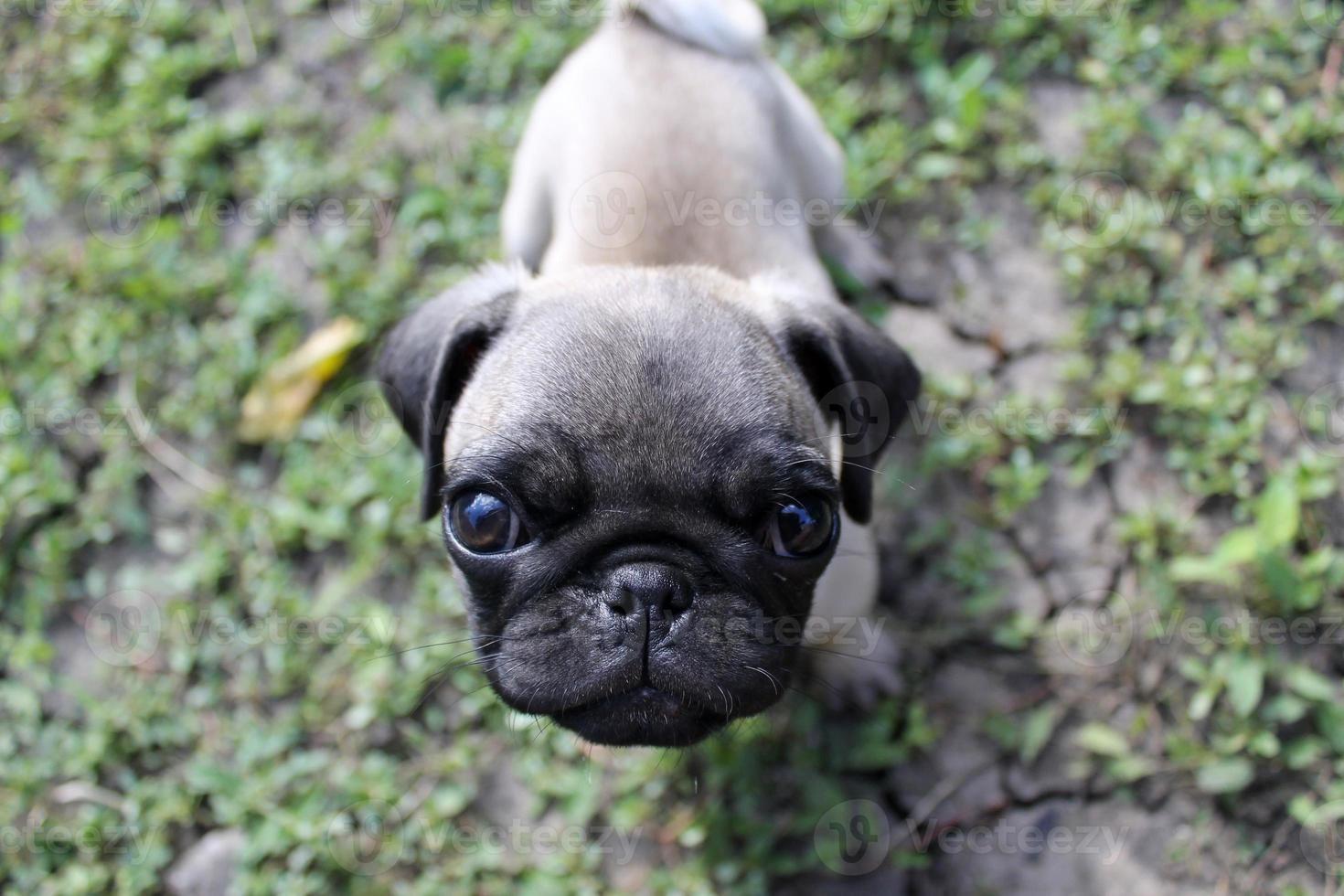 puppy mopshond foto