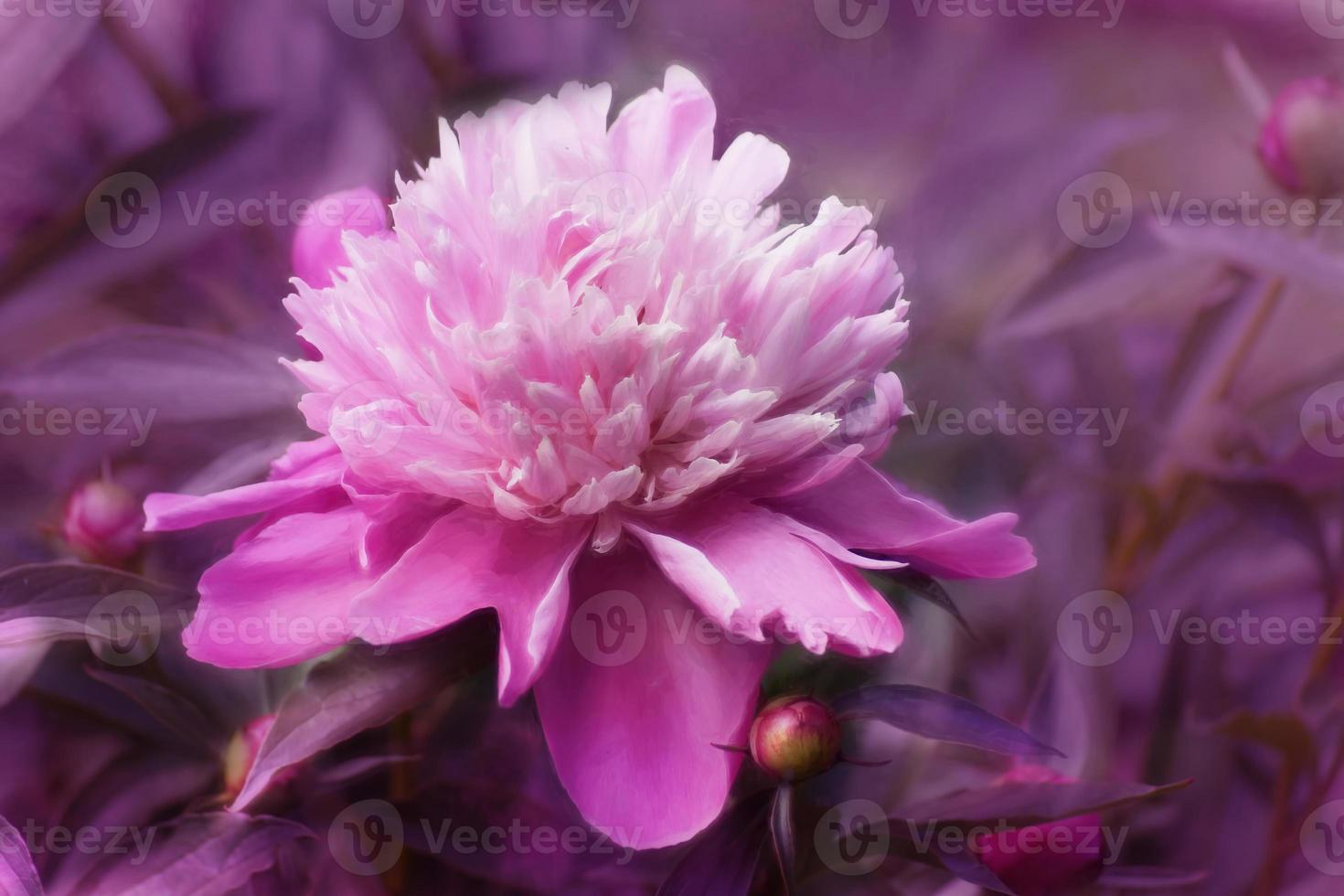 digitale kunst, geverfd effect, roze chrysantenbloemen foto