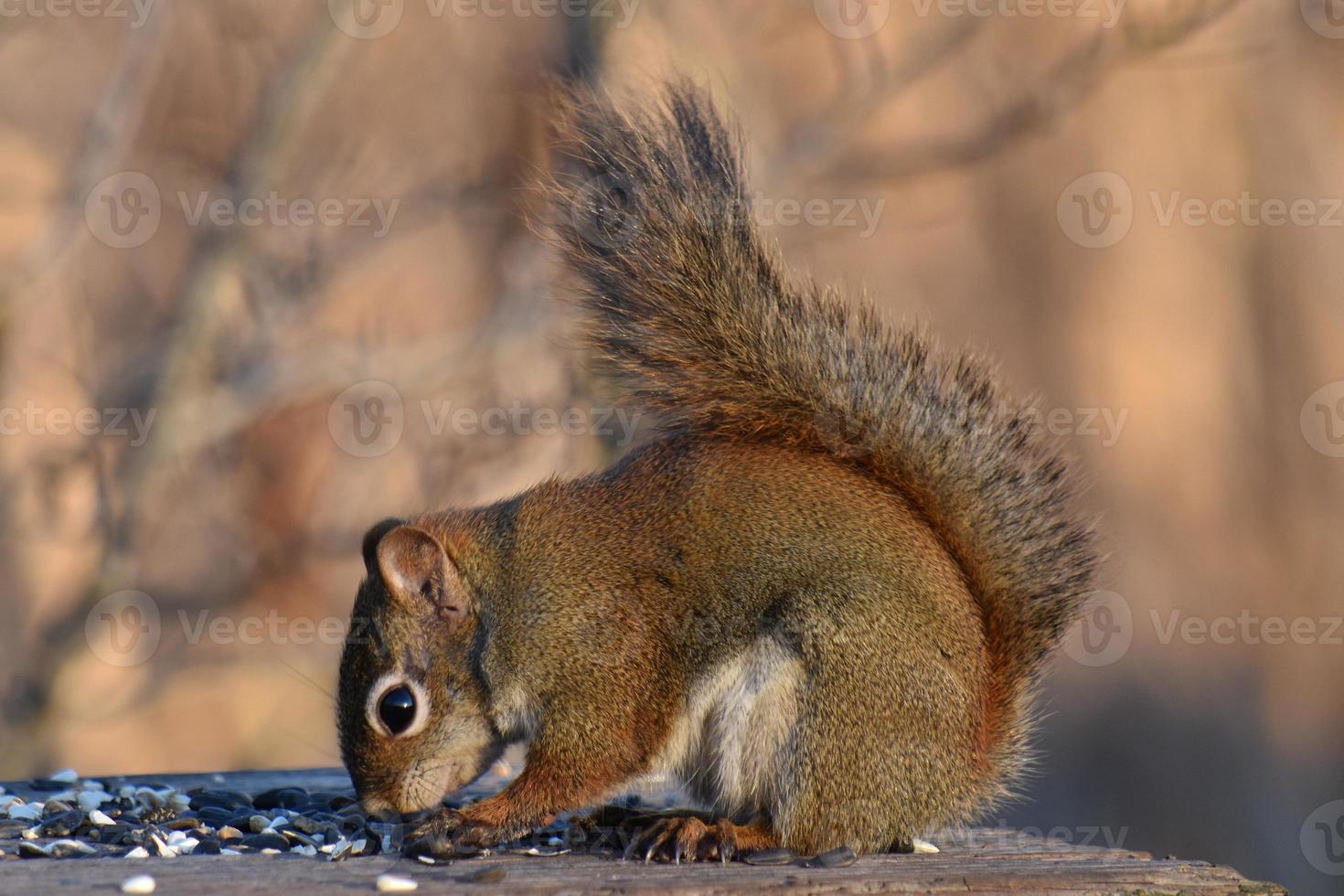 rode eekhoorn voeding foto