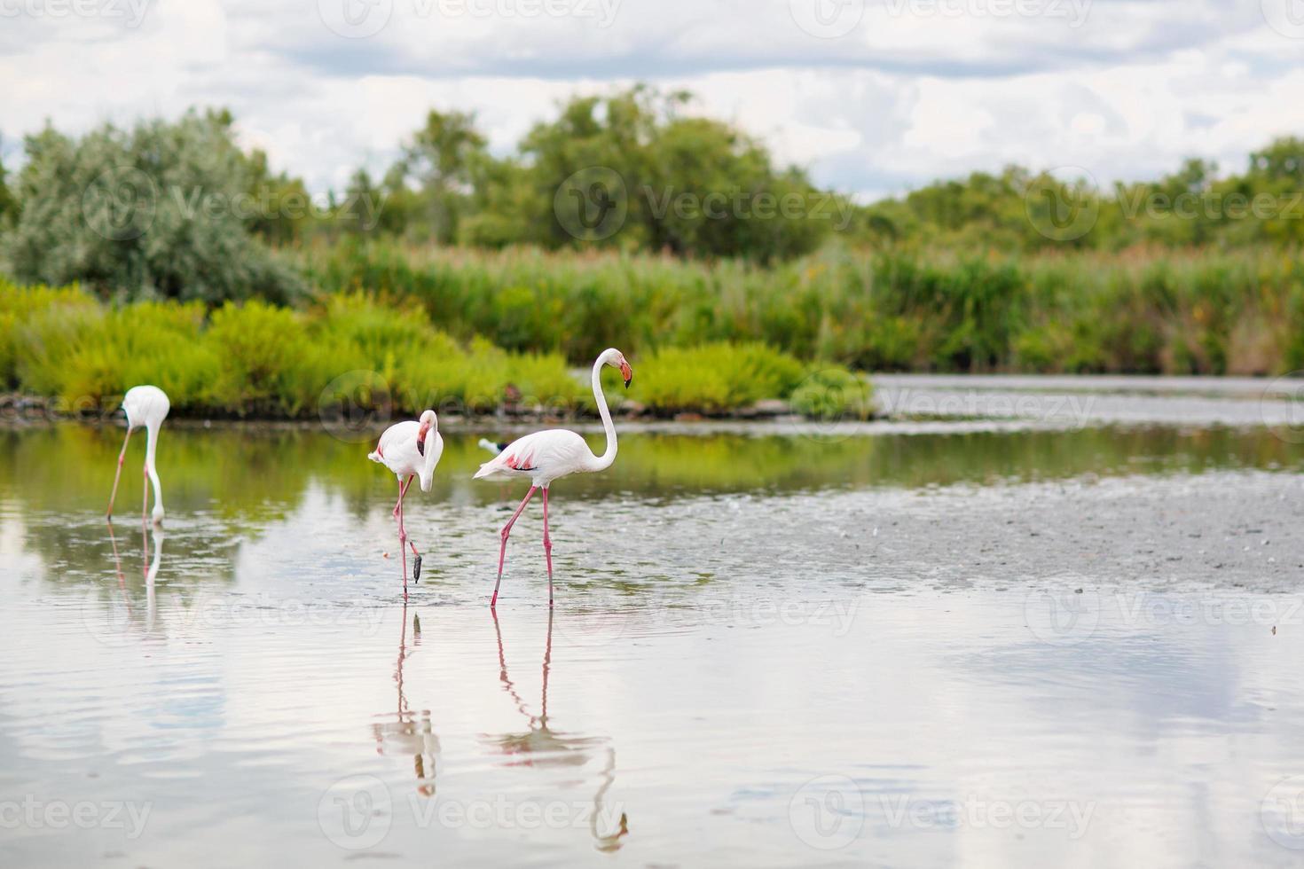 wilde flamingovogels in het meer in camargue, frankrijk, provence foto