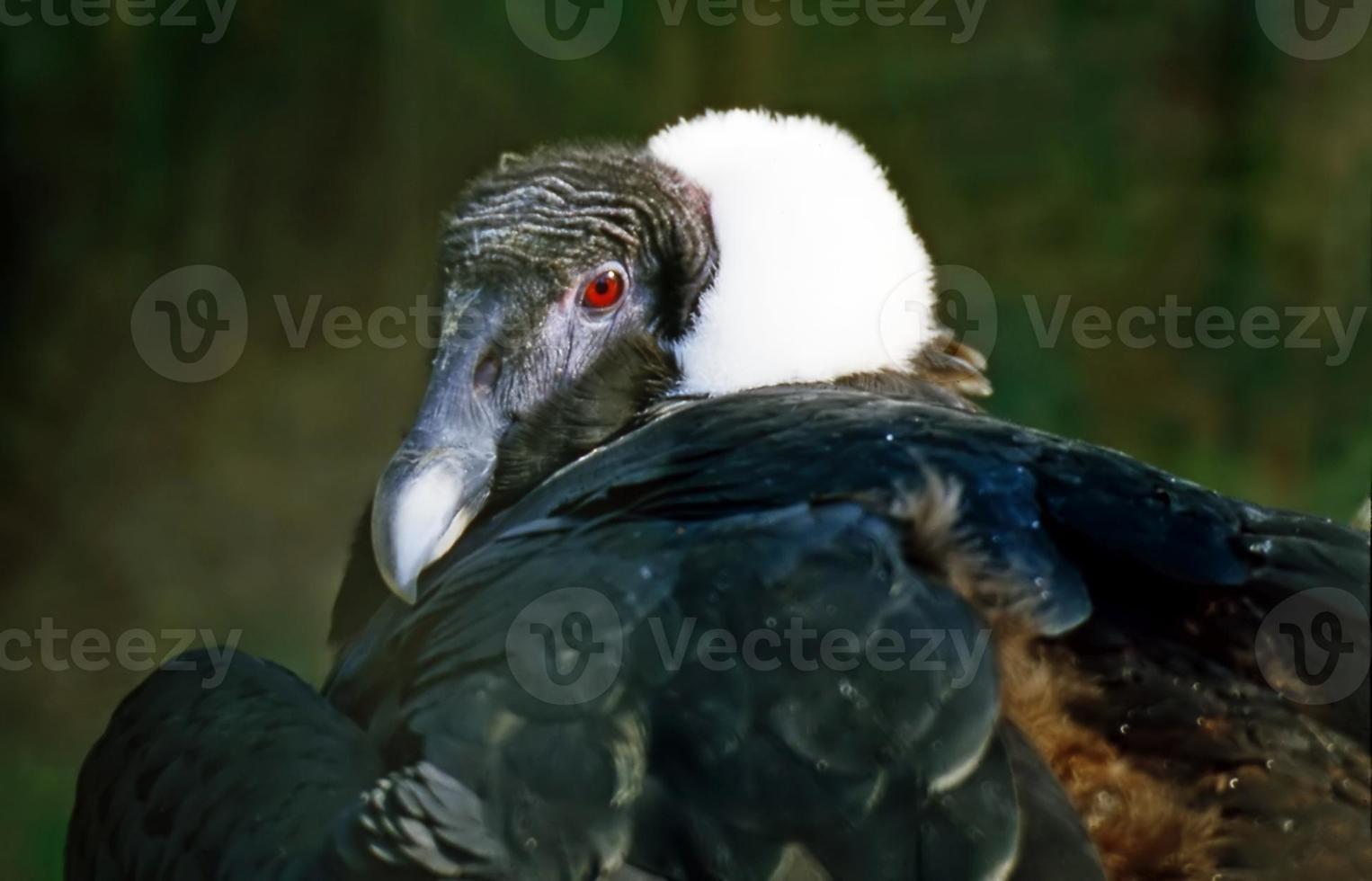 andes condor foto