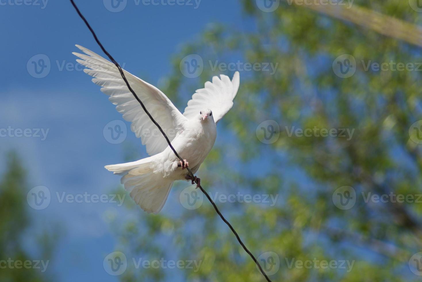 witte duif foto