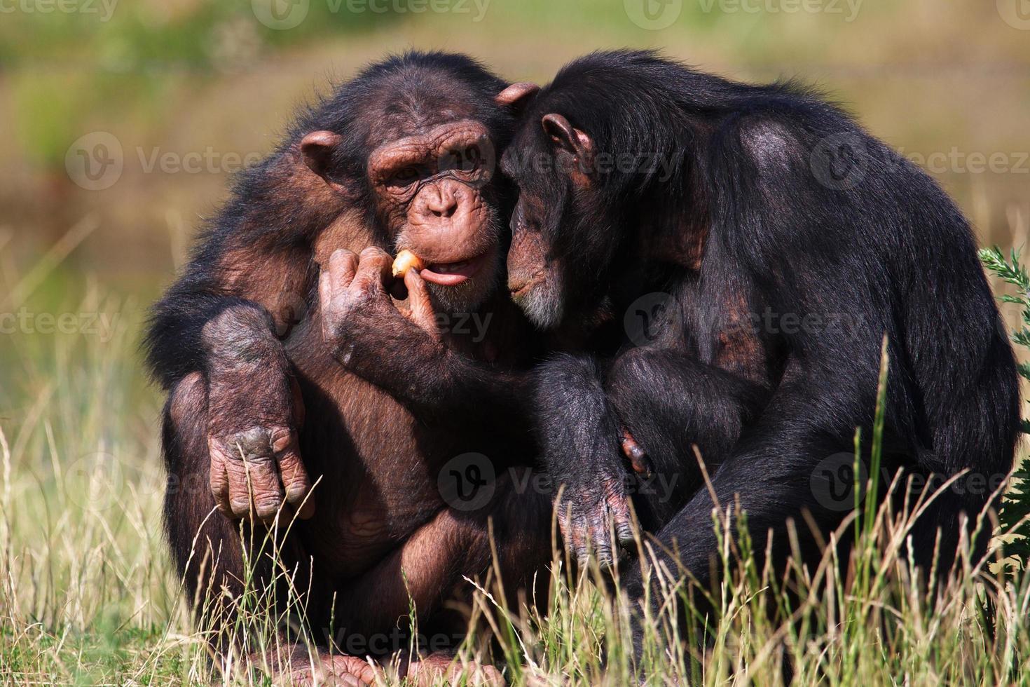 chimpansees die een wortel eten foto