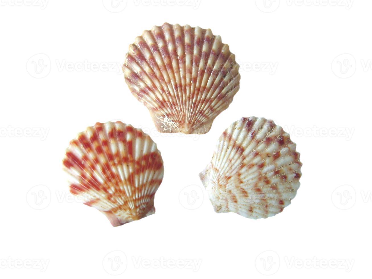 drie geschulpte schelp foto