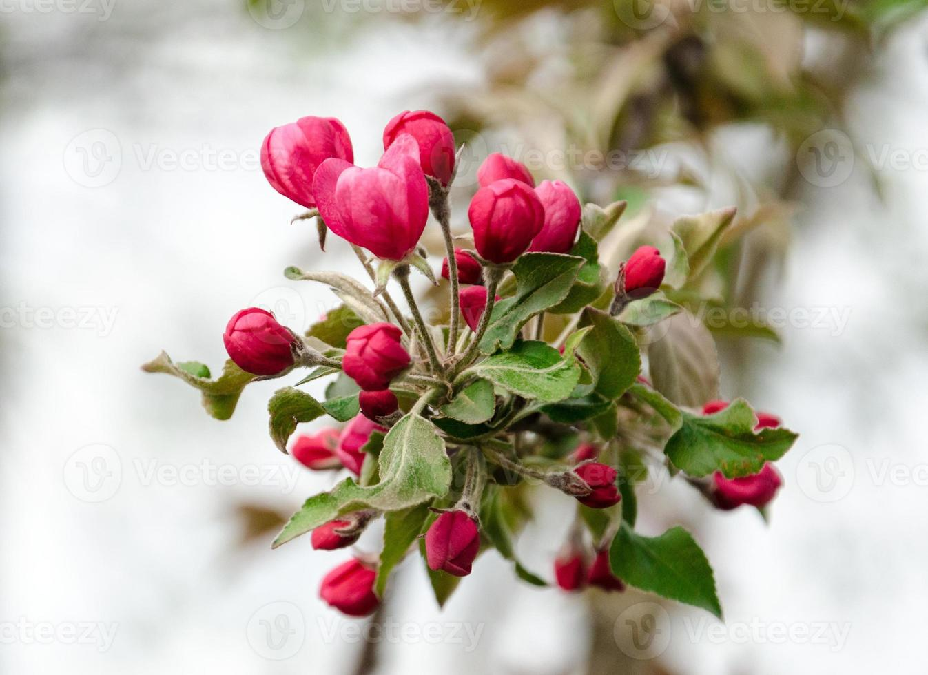 bloeiende crabapple bloeit foto