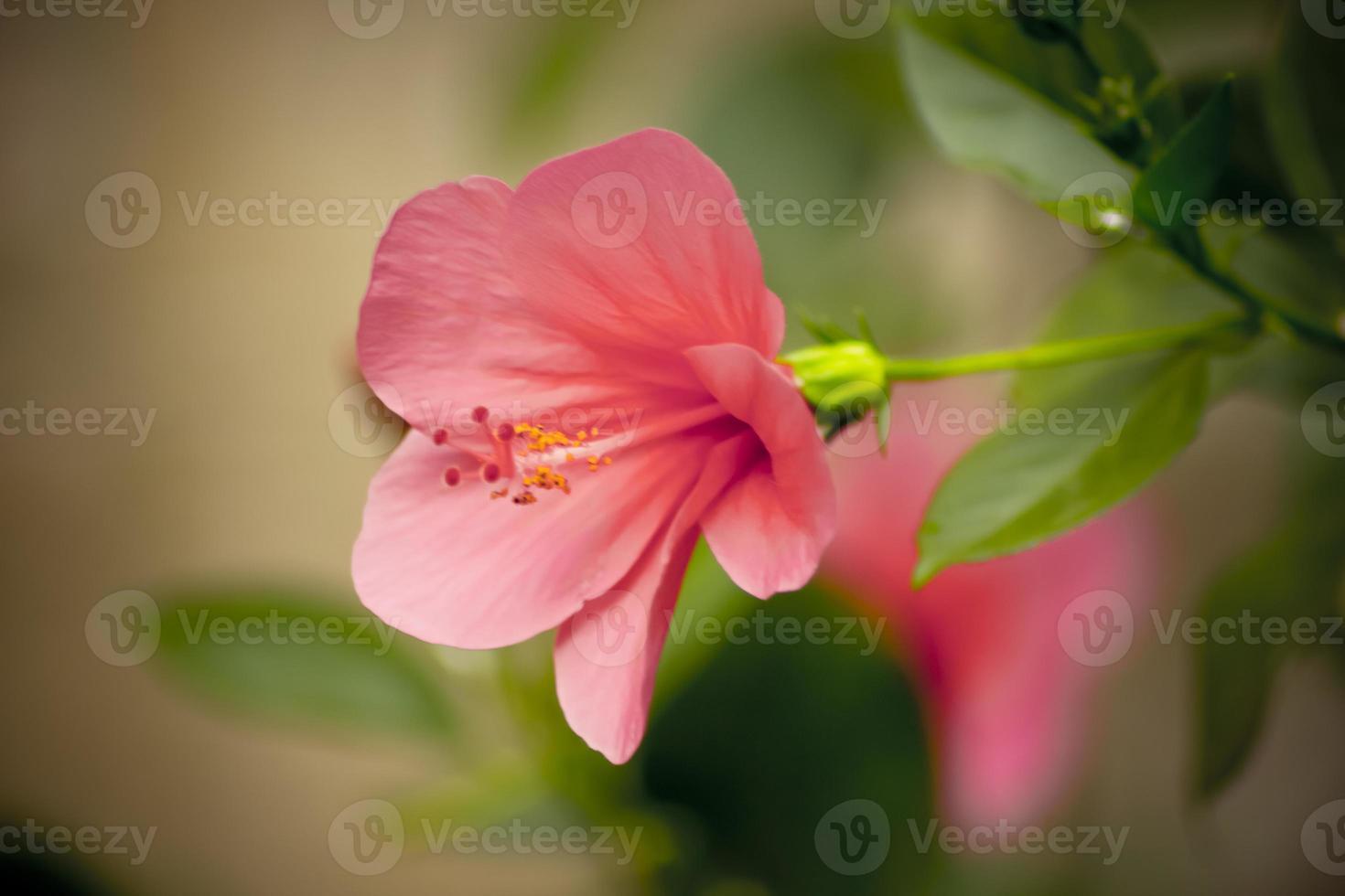 rode hibiscus foto