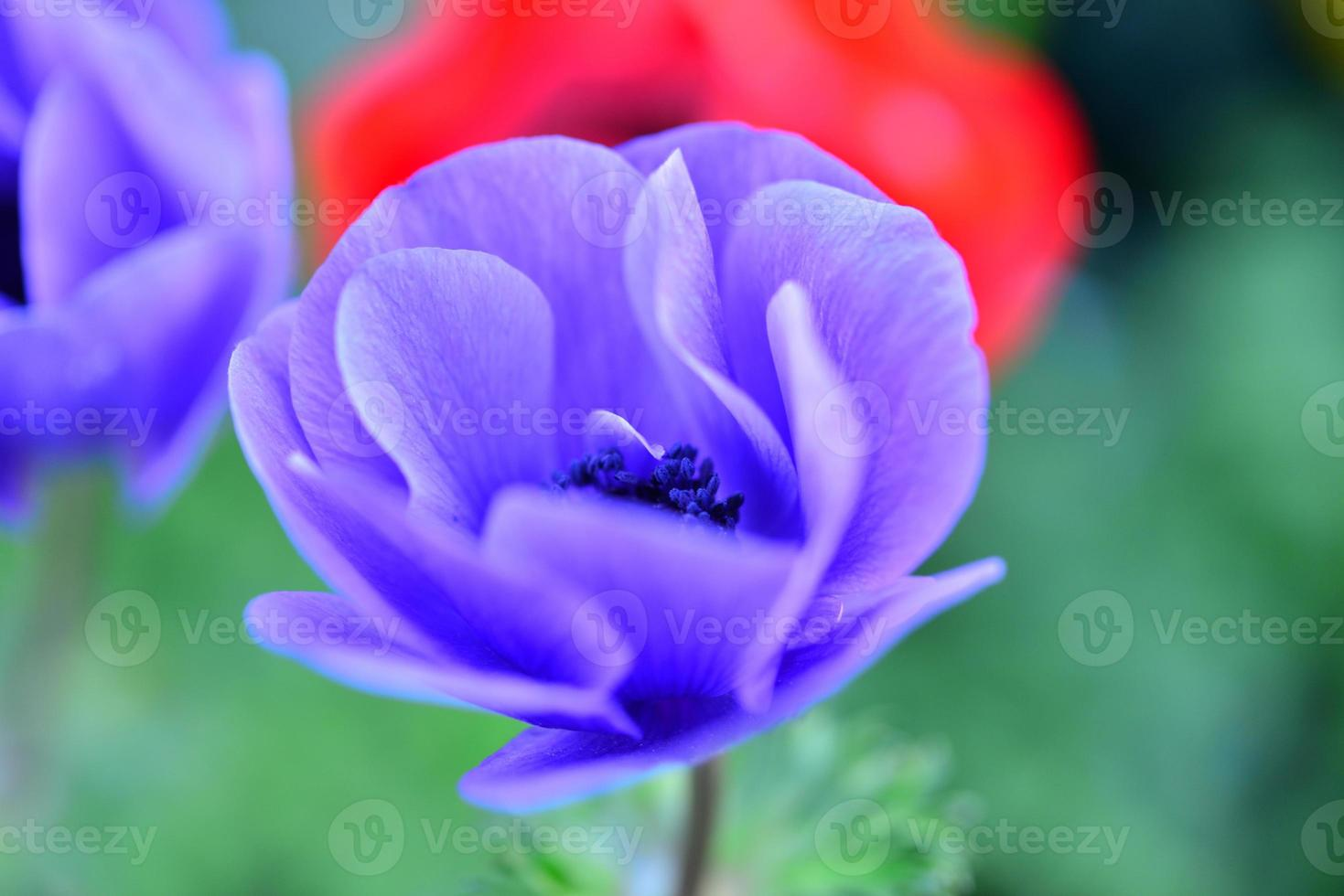 anemoon bloem foto