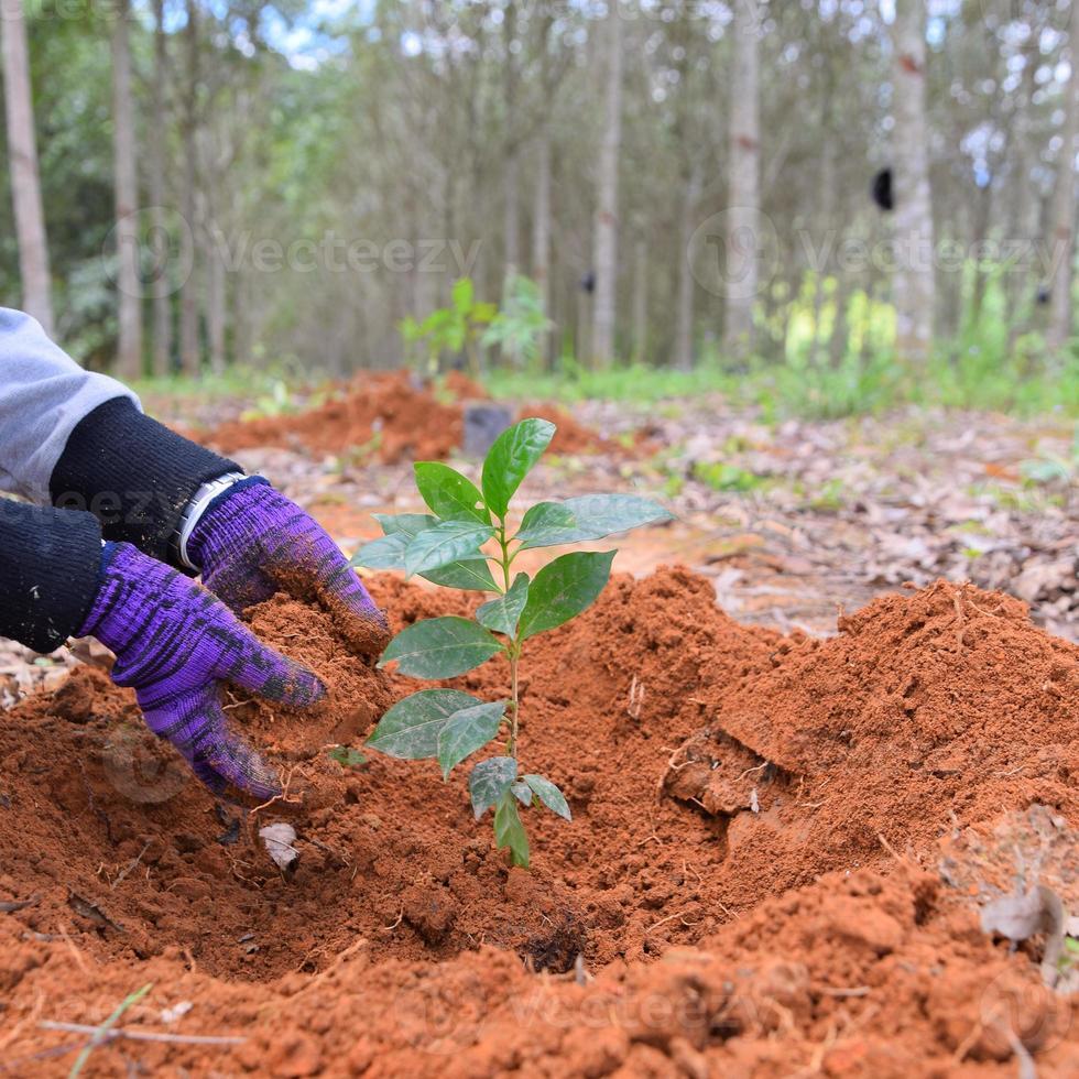 handen van boeren om koffiezaailingen in plantages te planten. foto