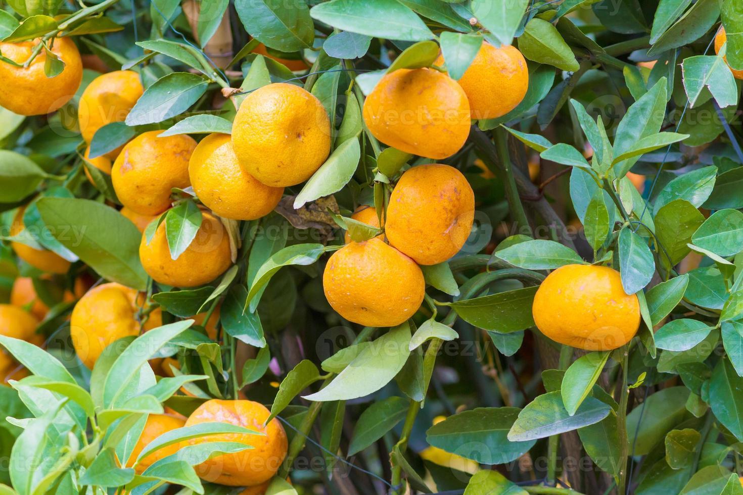 mandarijn fruitboom foto