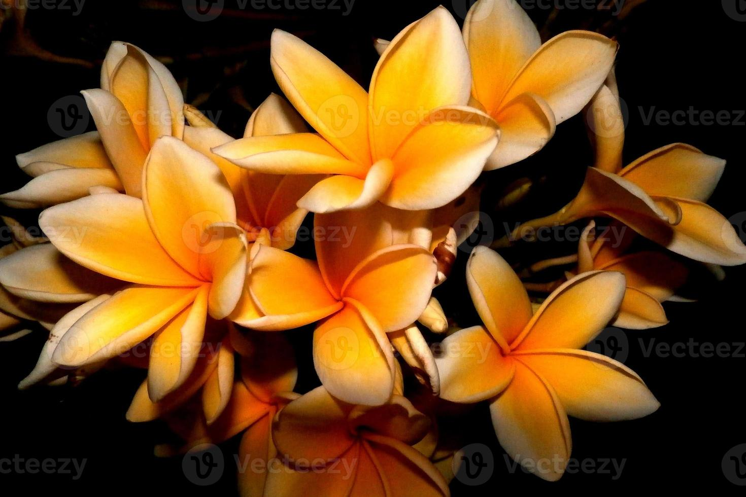 frangipani bloem foto