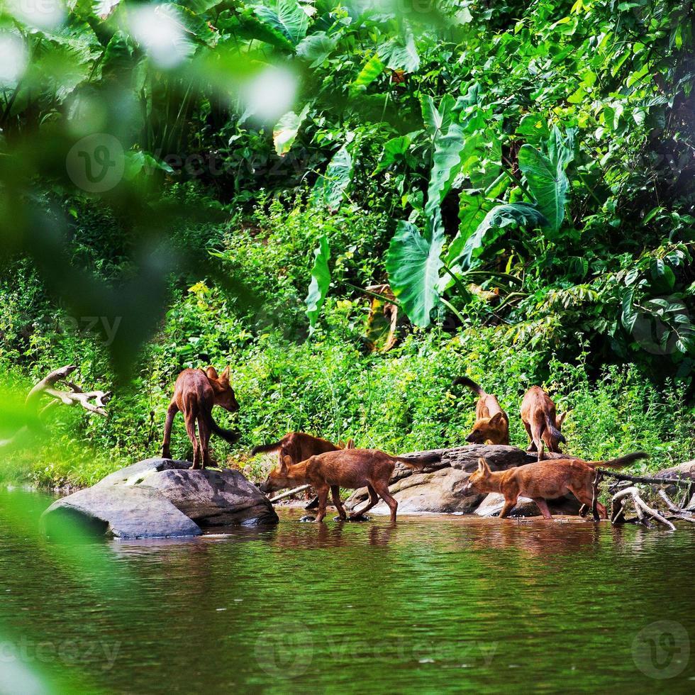 Aziatische wilde hondenfamilie foto