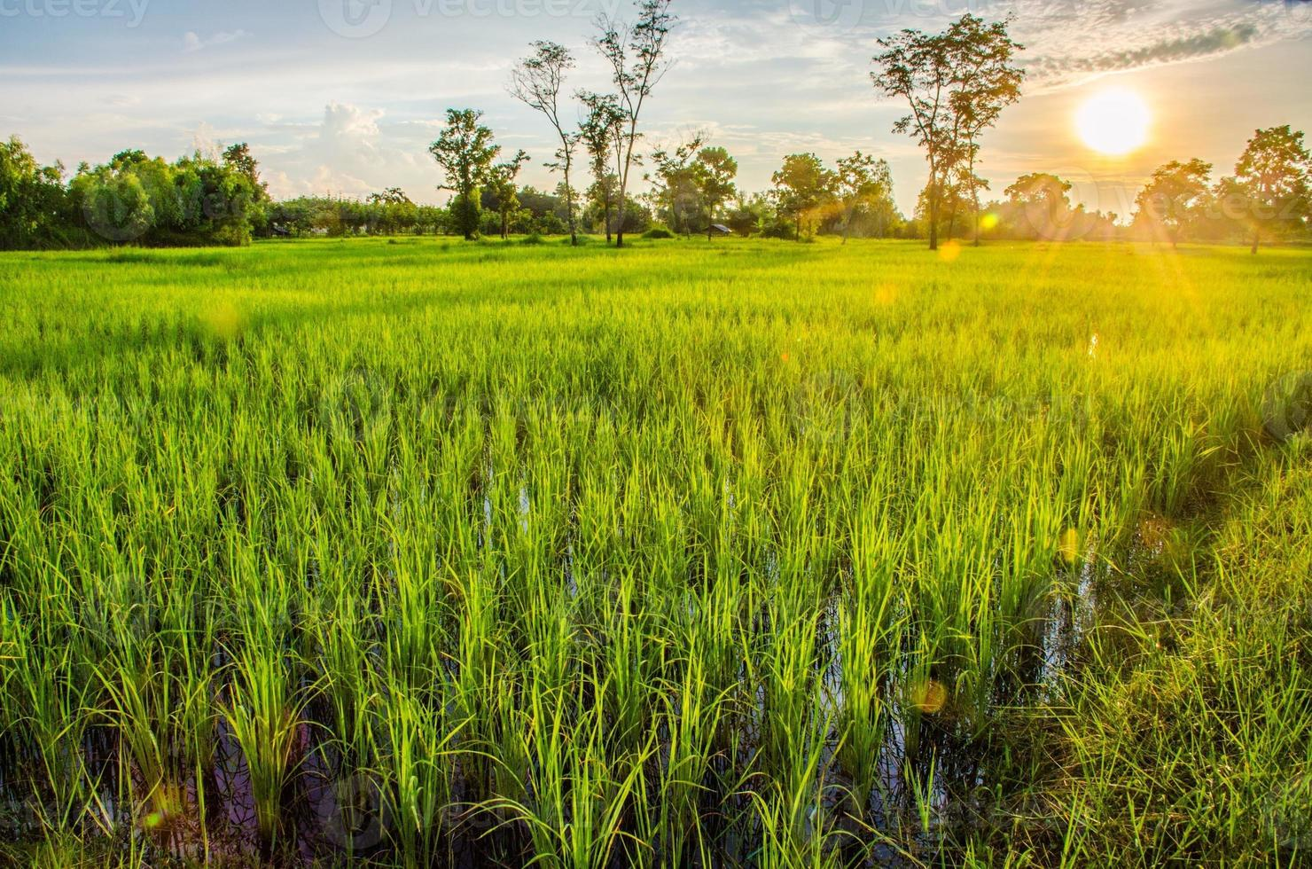 zonsondergang op rijst veld foto
