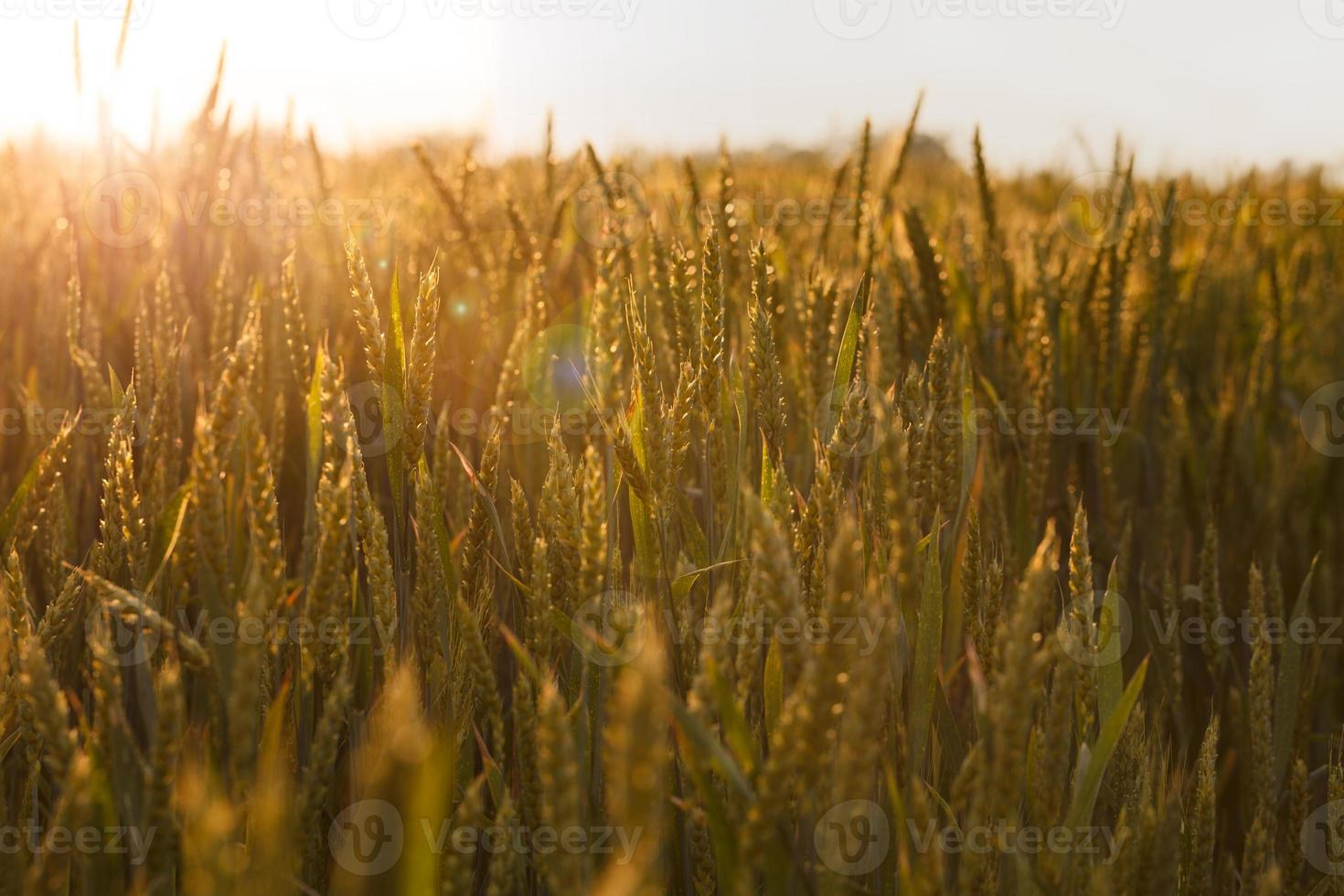 zonnestralen over granen veld foto