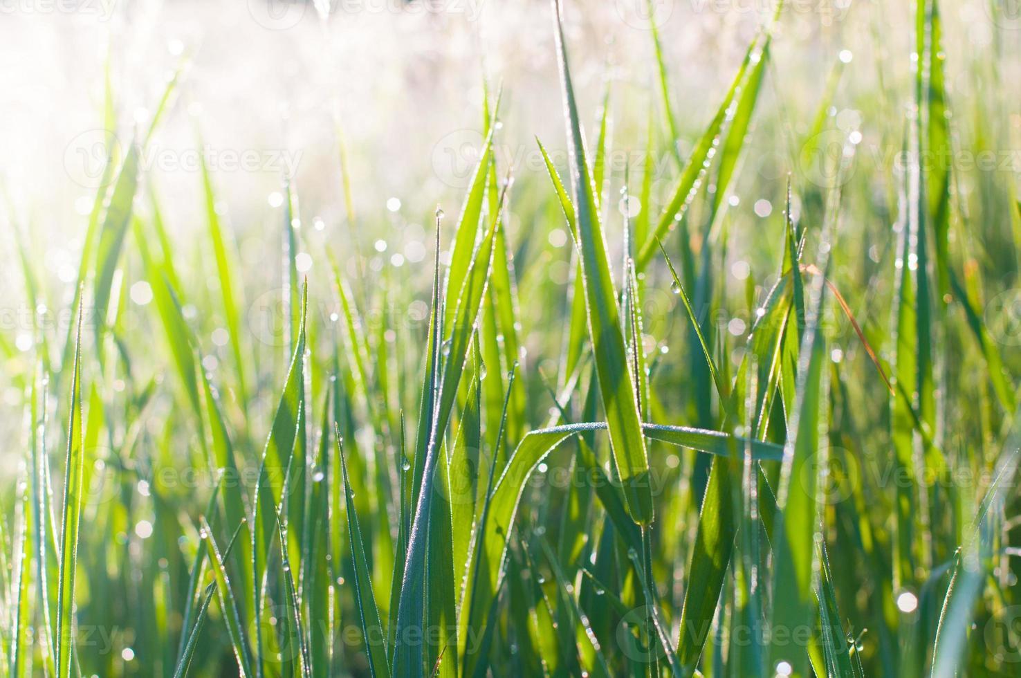 dauw op gras foto