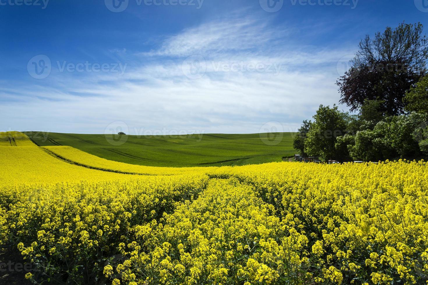 verkrachtingsveld gele bloemen foto