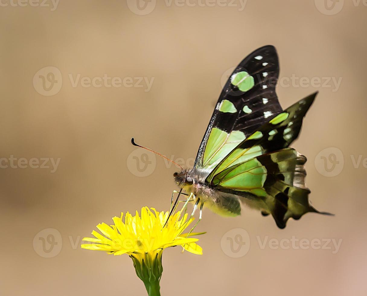 vlinder stuifmeel drinken foto