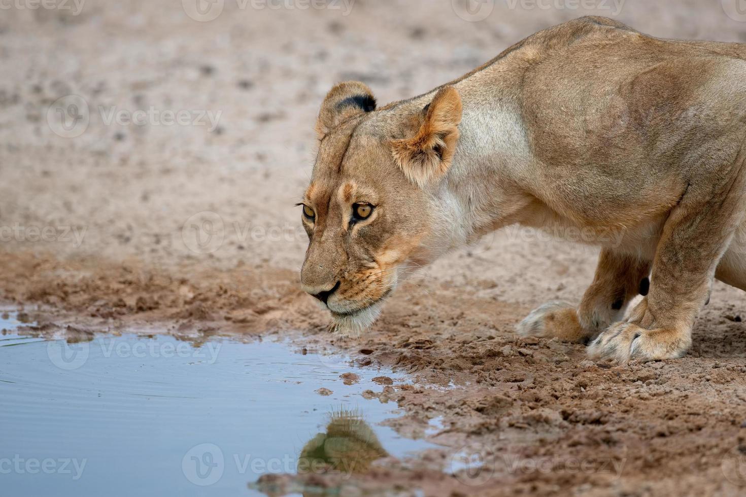 leeuwin drinken foto