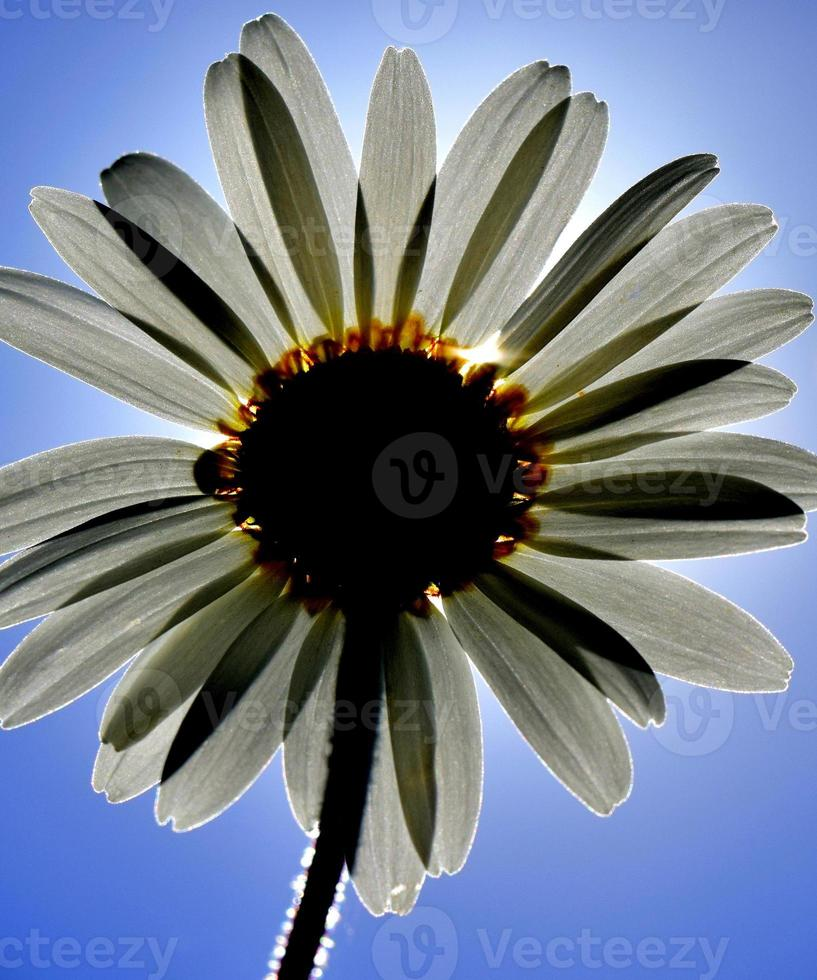 verlichte daisy foto