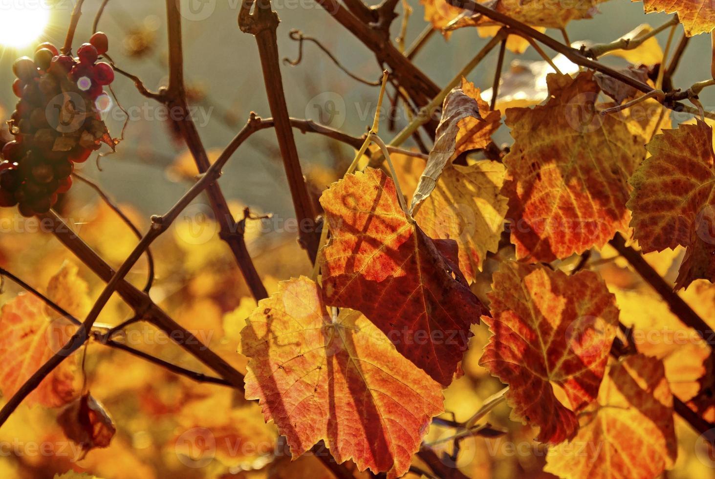 herfst in de wijngaard foto