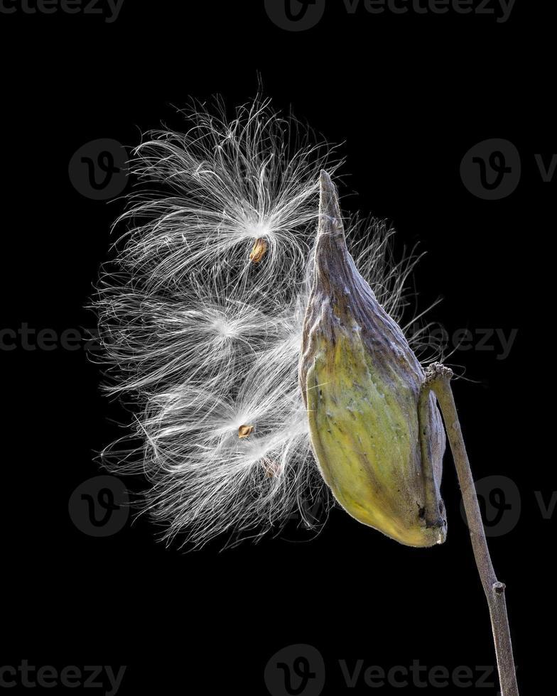 verlichte kroontjeskruid foto