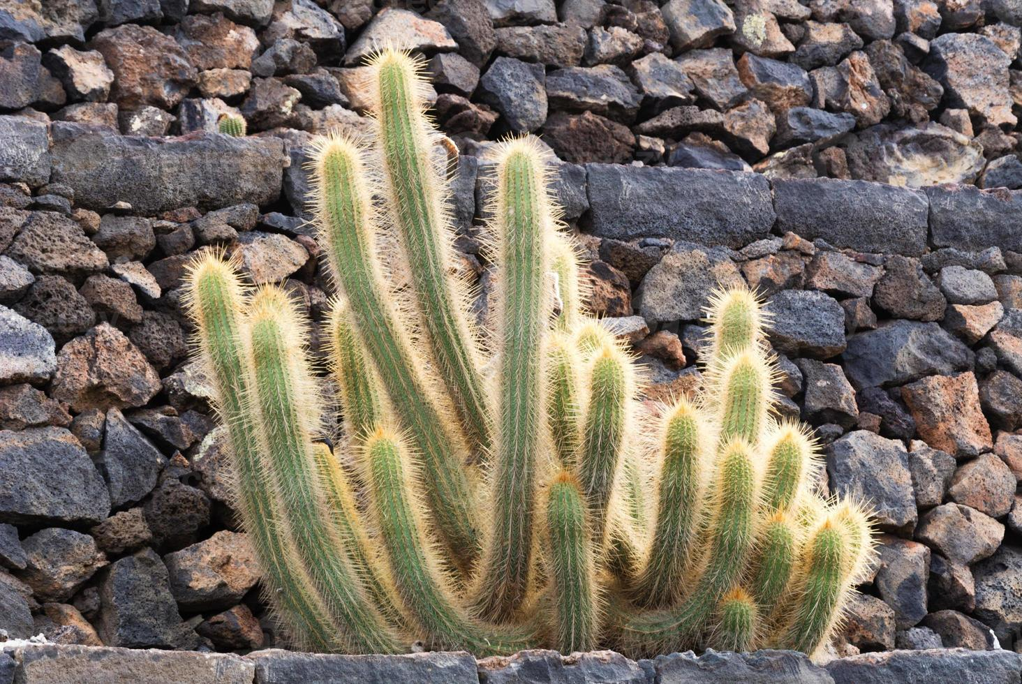 verlichte cactus foto