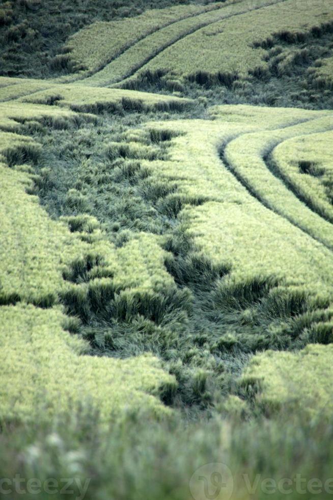 groene tarweveld met regen schade foto