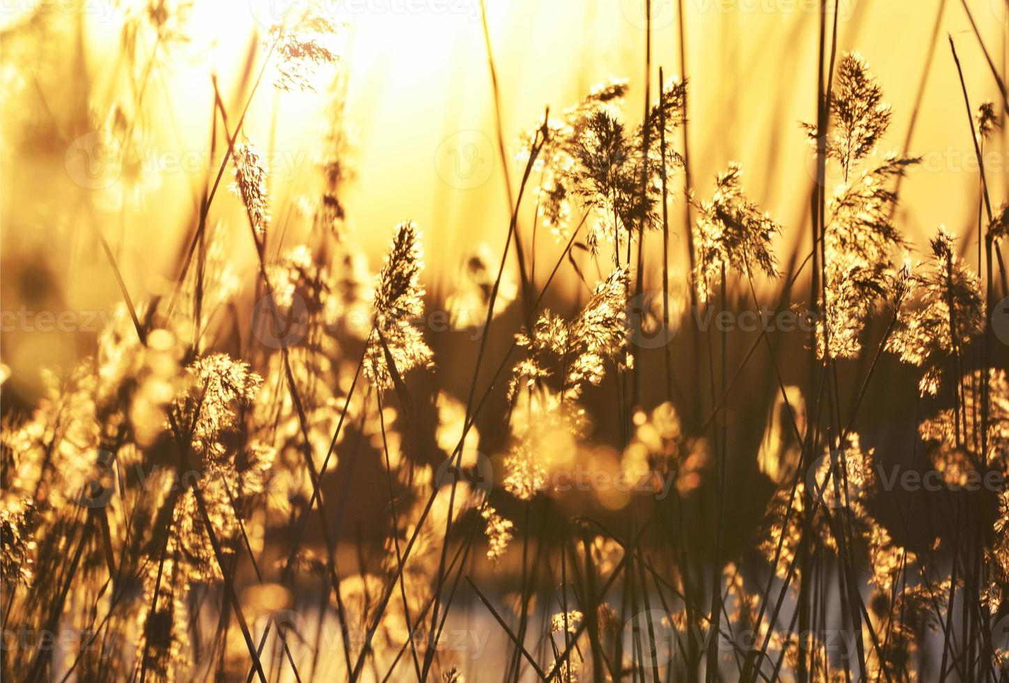 bulbush in warm zonsonderganglicht foto