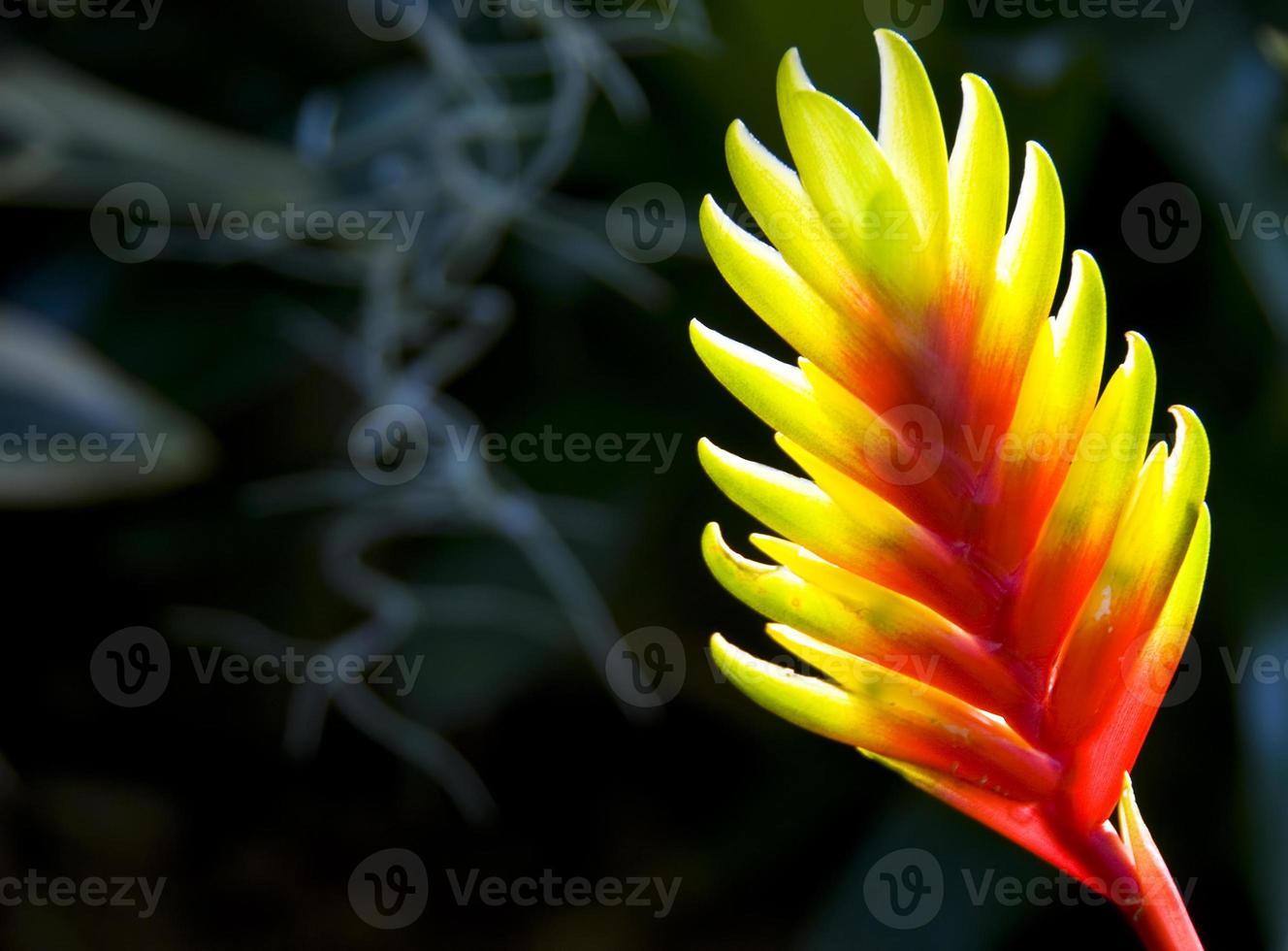 kreeft-klauwplant (heliconia rostrata) foto