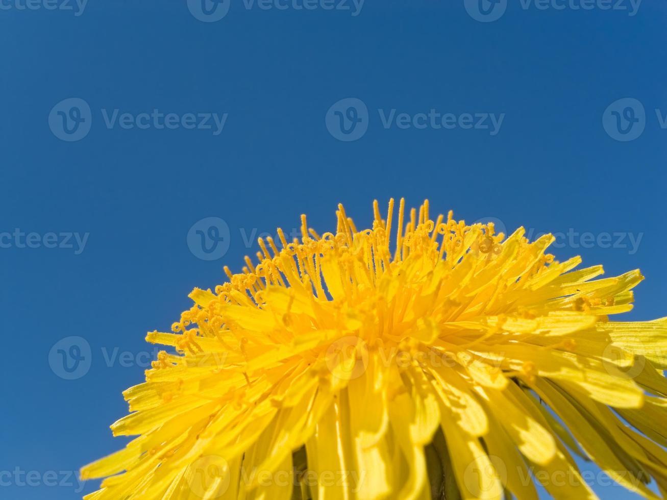 paardenbloem: bloemhoofd met heldere blauwe lucht en kopie ruimte foto