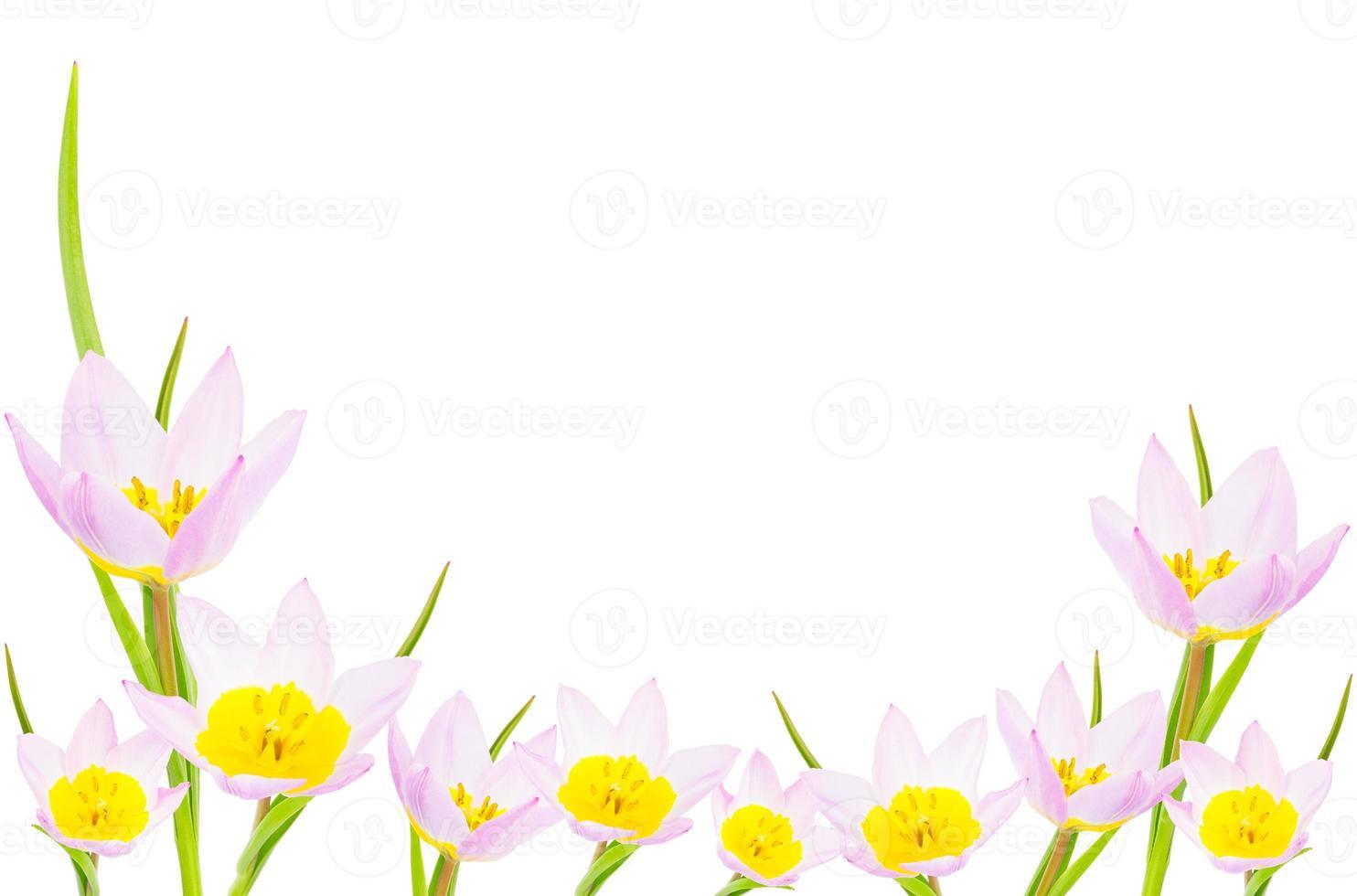 tulpenbanner met exemplaarruimte. geïsoleerd op wit. foto