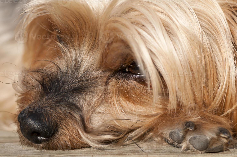 neus yorkshire terriër close-up foto