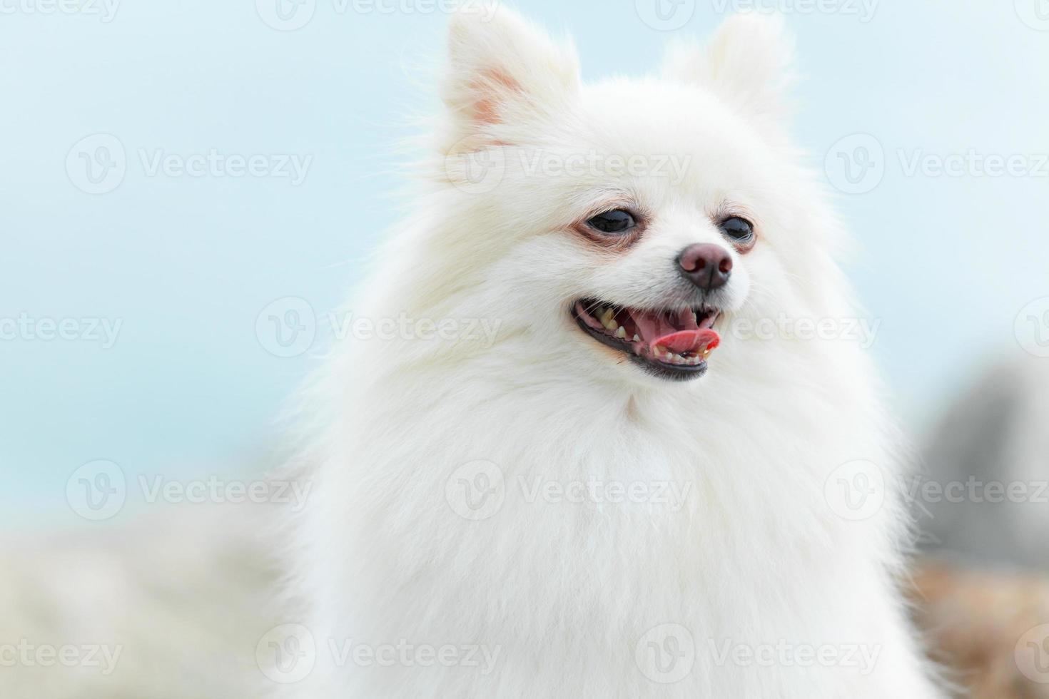 witte Pommerse hond foto