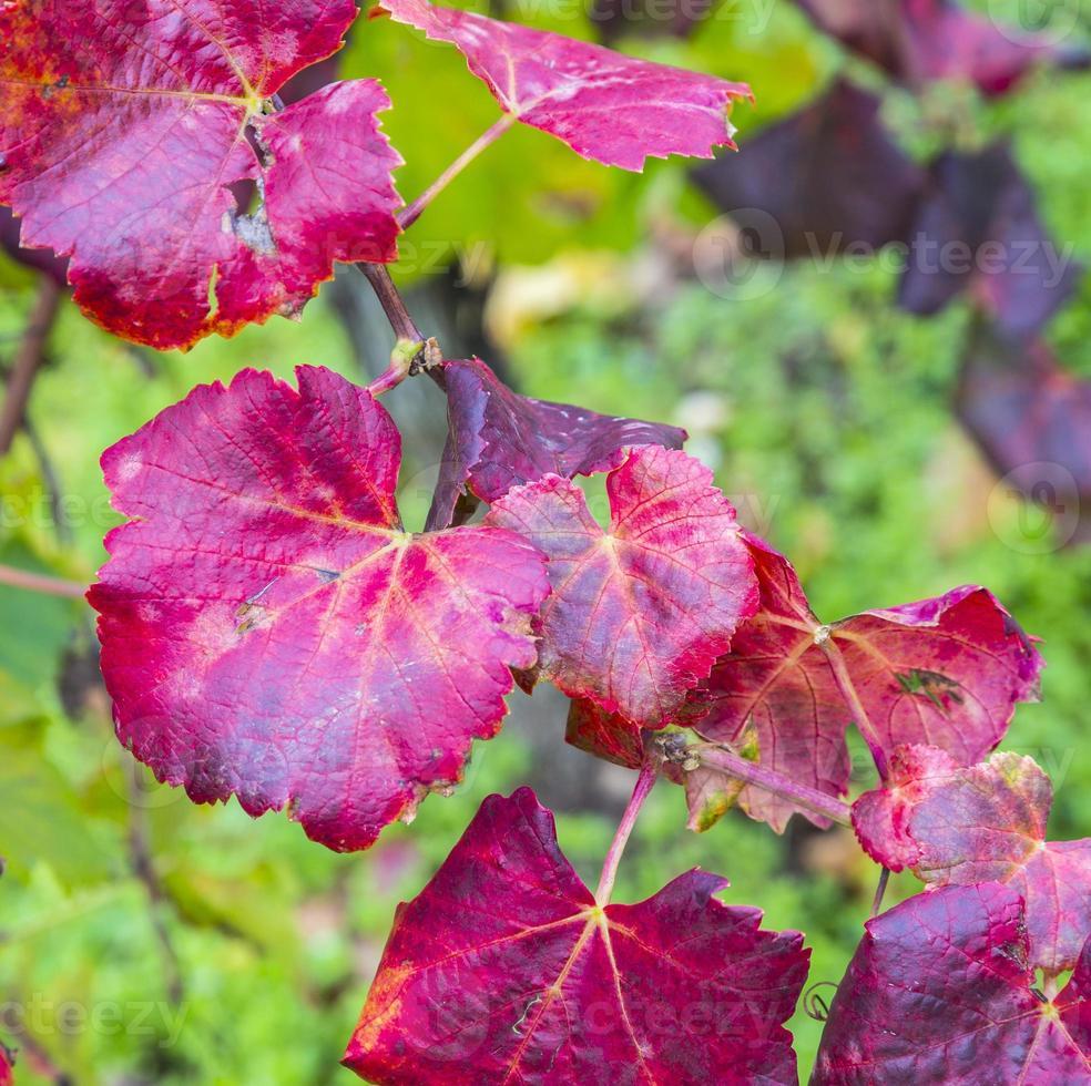 druivenbladeren, close-up foto