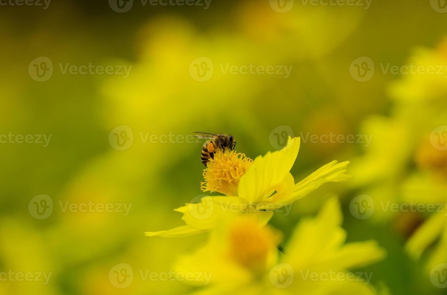close-up honingbij foto