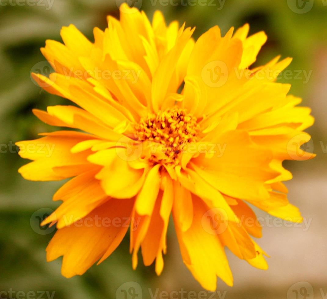gele chrysant - sluit omhoog foto