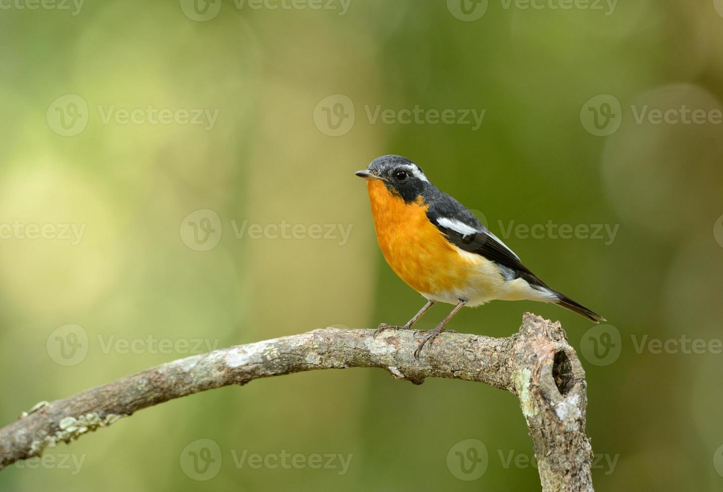 mannelijke mugimaki vliegenvanger foto
