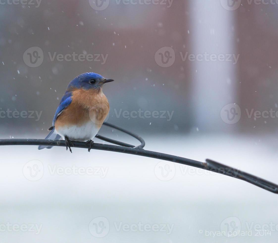 mannelijke oostelijke sialia in sneeuw foto